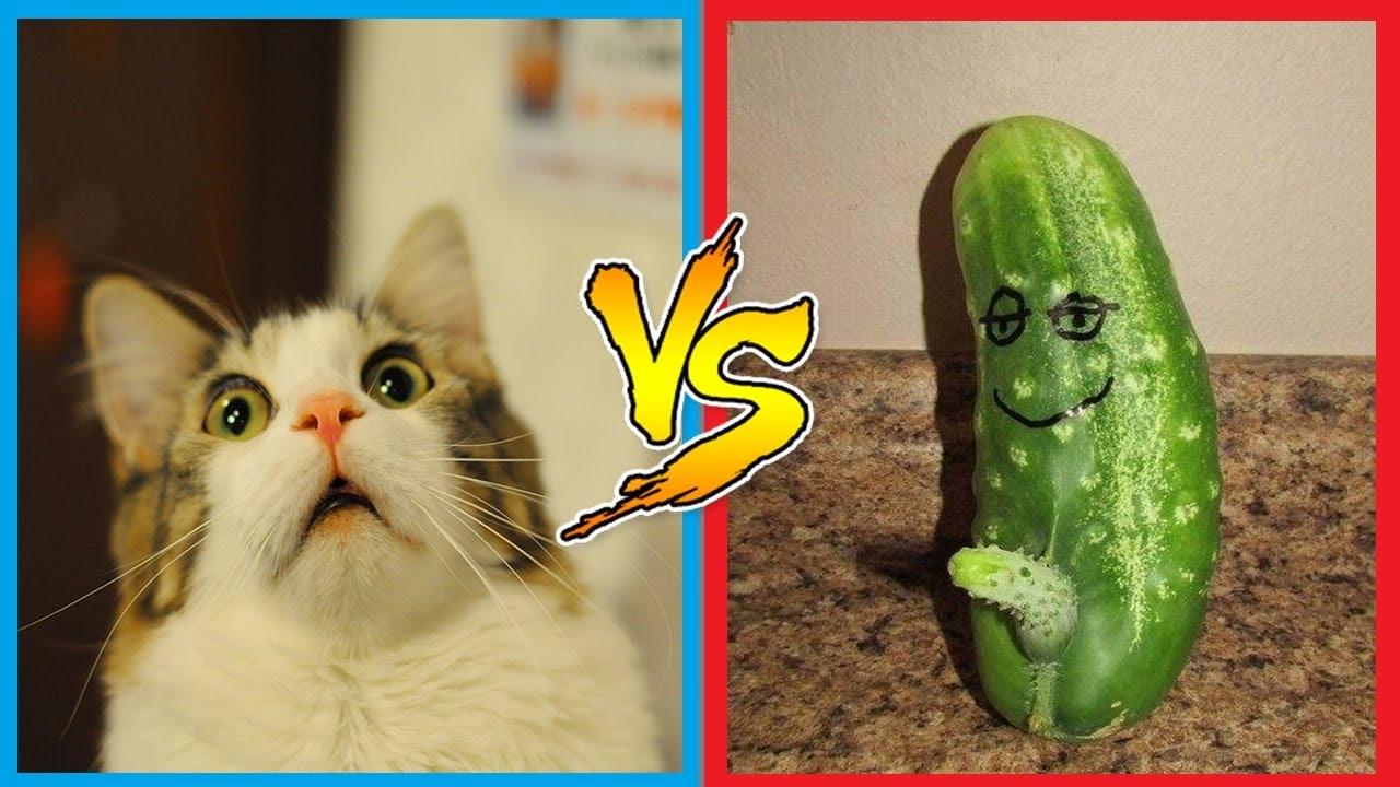 COMPILATION DE CHATS EFFRAYÉS par des CONCOMBRES ... Funny Cat Videos Cucumbers