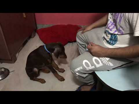 Training Puppy Doberman