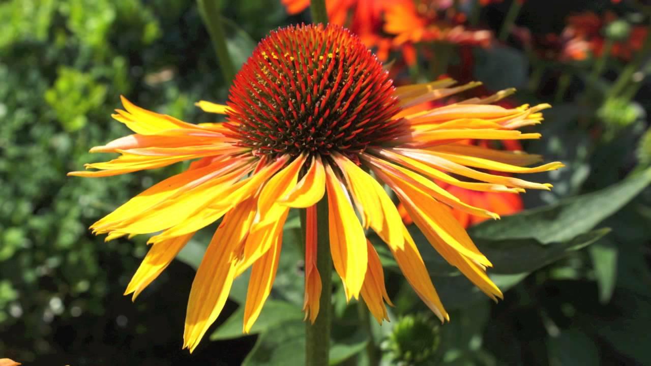 Echinacea Cone Flower Orange Yellow And White Youtube