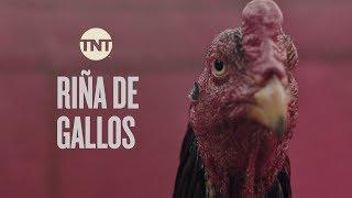 Un gallo para Esculapio | Riña de Gallos