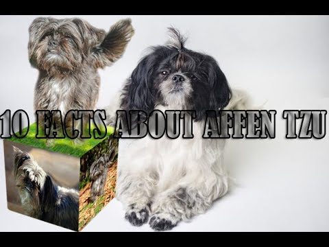 10 Facts about Affen Tzu Dogs | Basic Information