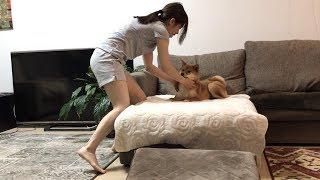 昼間暑くて外で遊べないゆきちゃんを部屋の中でもてなすお姉ちゃんの努力    柴犬ゆき Shiba inu, Yuki thumbnail
