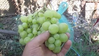 Гф винограда Сенатор Бурдака   подтверждает свой высокий класс.