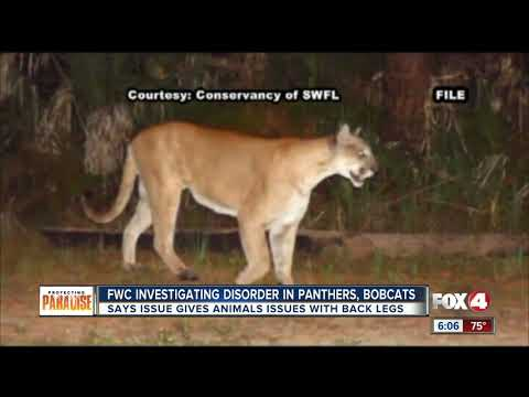 Florida Fish And Wildlife Need Public's Help To Document Panther, Bobcat Disorder