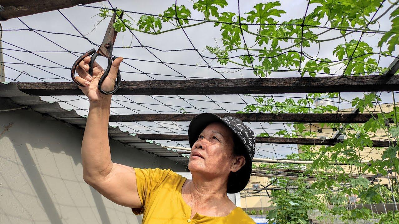 Cắt ngọn Khổ qua , bón phân , trồng bình 5 lít treo giàn | Khoa Hien 339