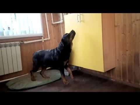 Подготовка пса к дню Защитника Отечества