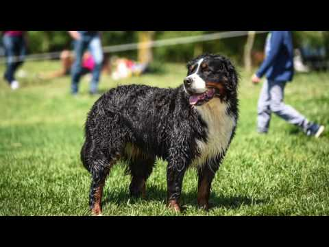 Bernese Mountain Dog Information