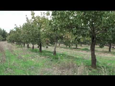 Pistachio Harvesting & Processing - Small Is Beautiful