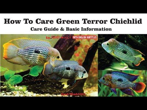 How To Care Green Terror Chichlid & Basic Info Hindi Urdu W English Sub