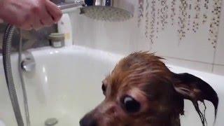 Русский Той -Терьер принимает ванну. HD.