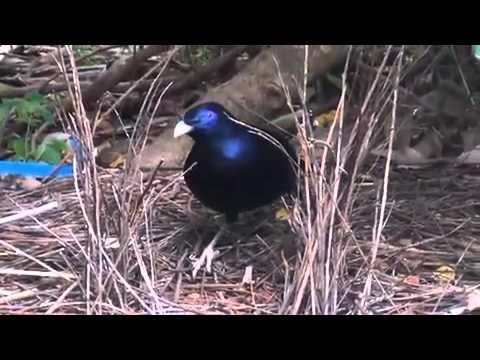 AUSTRALIAN BOWER BIRD AND HIS WONDERFUL BOWER 2013