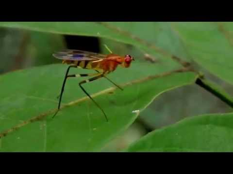 fastidiously grooming stilt fly