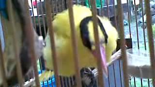 Burung Kepodang Gacor Maz Laksono