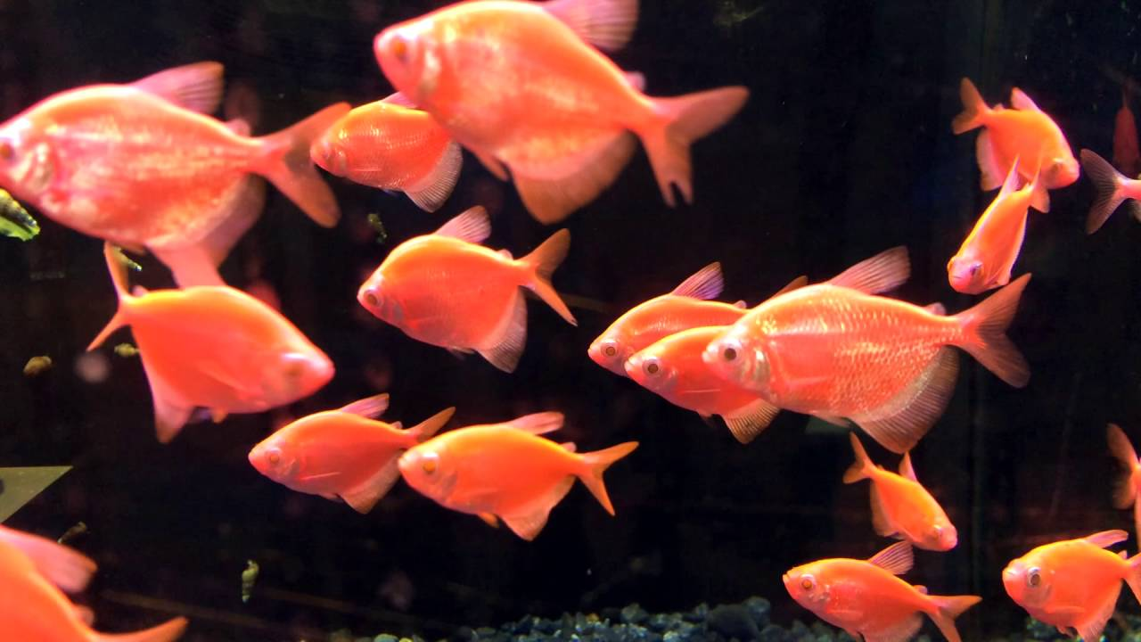 Transgenic Glo-fish, Starfire Red and Electric Green! - YouTube