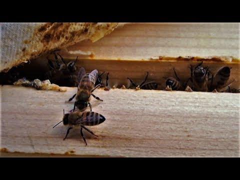 """Cəlilabadlı arıçılar təsərrüfatlarında """"Boz Qafqaz"""" arı sortu yetişdirir"""