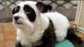 Panda Dog: Dog Made to Look Like Panda