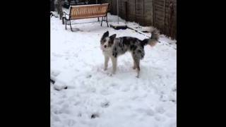 Tri colour blue merle border collie playing in the snow