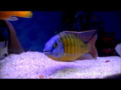 Tangerine Tiger Cichlid - Protomelas taeniolatus - Malawi Hap Cichlid