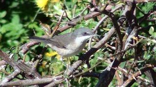 Curruca mirlona + (Sylvia hortensis, Western Orphean Warbler)
