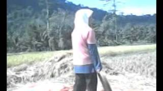 Download Video Rice harvest in the village MP3 3GP MP4
