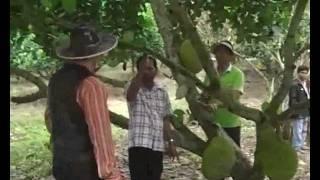 ขนุนมาเลย์ใหญ่หนัก40 โลMalay Jackfruit big  weighing 40 kg