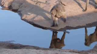 Kruger Park - Baboons interaction