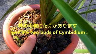 シンビジュームの花芽 Many buds of Cymbidium