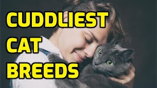 10 Most Cuddly And Affectionate Lap Cat Breeds