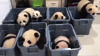 Adorable Panda Cubs Try to Climb Out of Plastic Tubs thumbnail