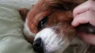 My Cavalier King Charles Spaniel - Feel So Good~~~