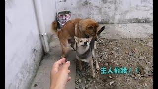 中华田园犬阿黄在田野浪,中途却偷偷跑回家,就是为了骚扰灰灰!发布中...