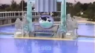 Kandu V and baby Orkid Shamu Show 1989 SeaWorld (Corky and Namu too).