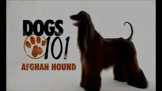 Порода собак Афганская борзая