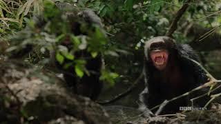 Dynasties: Chimpanzee | Saturdays at 9pm | BBC America