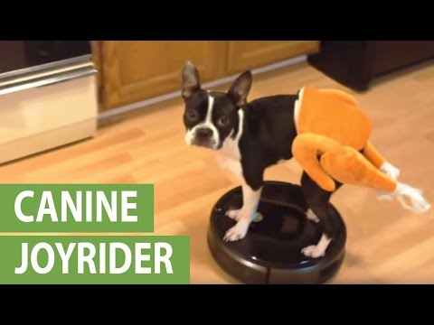 Boston Terrier rides Roomba in a turkey costume