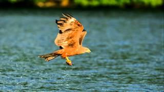 Schwarzmilan-Bildershow, Vögel in Deutschland