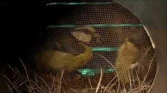 Talitiaisen poikaset, Great Tit chicks