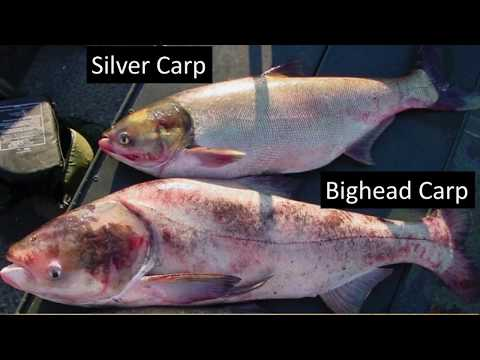 TN WildCast 86 - TWRA's Most Wanted, Asian Carp
