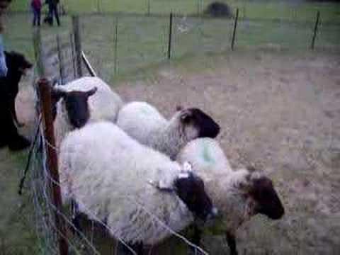 Nizinny (PON) aux moutons 3