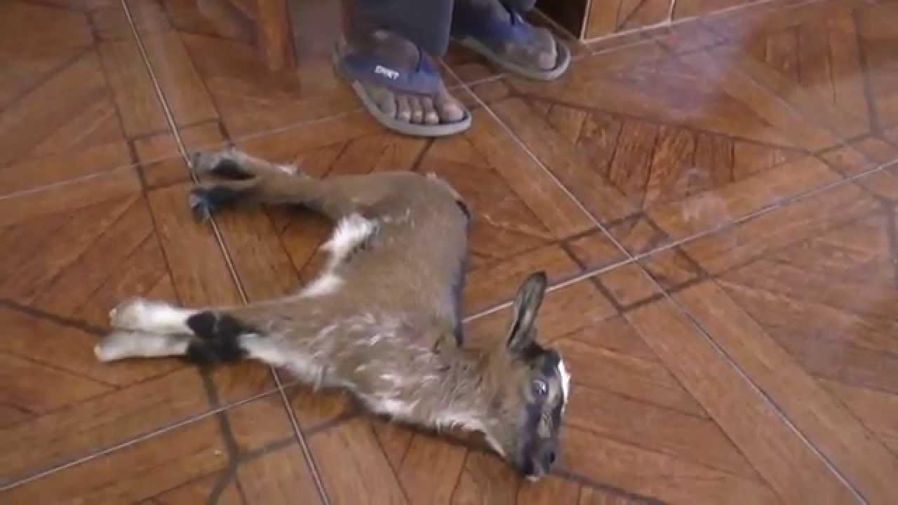 R Goats Tetanus in a goat - Ex...