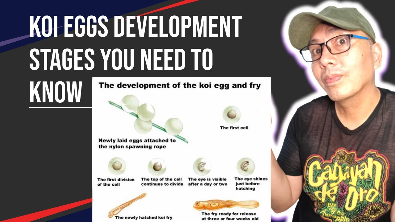 Koi fish growth chart development stages of koi fry from eggs koi fish growth chart development stages of koi fry from eggs nvjuhfo Choice Image