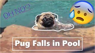 Pug Can't Swim, Falls in Pool!!!