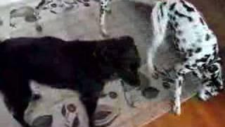 Dalmatian Wrestlemania