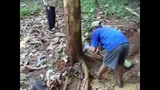 Superior Teak Tree Felling Age of 5 Years Tectona grandis