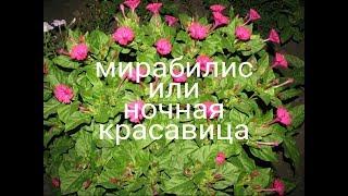 видео Цветы Ночная красавица - выращивание, посадка и уход