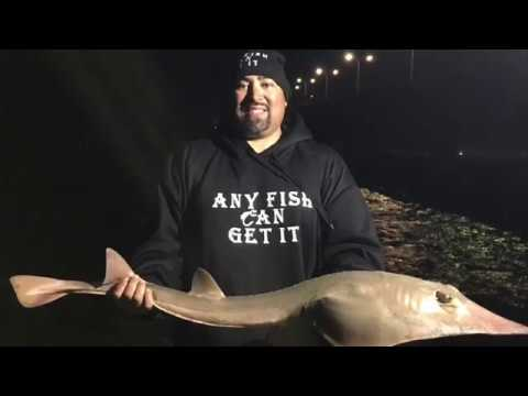 Bay Area Fishing Shovelnose Guitarfish 47inches 12.13lbs