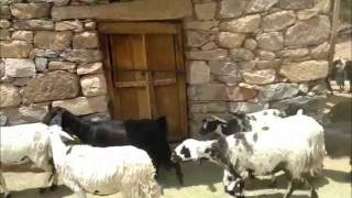 Sheep in the Arabian Peninsula اغنام جبال الطائف