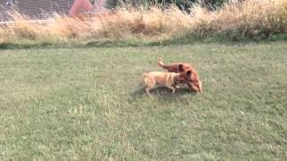 Pug Beagle Cross Playing With Alfie