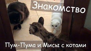 ЗНАКОМСТВО ПУМЫ С КОТАМИ / Новая соска / Реакция на зеркало