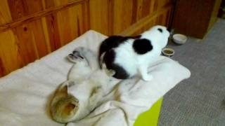 Британские кошки. Питомник ELENICAT*RU